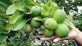 DELICIA. La calidad de los limones jaliscienses ha conquistado mercados en Estados Unidos, y varios países de Asia y Europa.