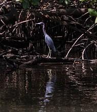 Las aves marinas en la orilla de los manglares en busca de comida.