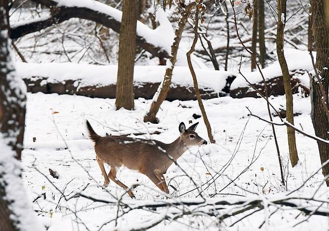 """""""¡Corre, Bambi, corre!"""": La Audubon Naturalist Society en Maryland desalojó a los molestos venados"""