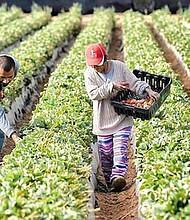¿Y AHORA? Un problema insoslayable se cierne sobre el país: la escasez de trabajadores agrícolas.