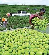 Mayoría de los trabajadores de la industria agrícola en EEUU son indocumentados