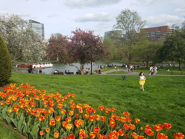 Tulipanes en el Boston Public Garden