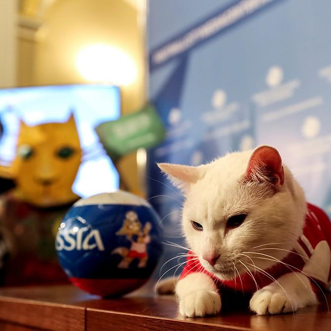 """Rusia - """"Achilles"""", el gato del Hermitage convertido en uno de los oráculos del Mundial de Rusia, predijo este miércoles la victoria de la selección anfitriona en el partido inaugural de este jueves en el estadio Luznikhi frente a Arabia Saudí."""