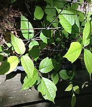 Poison Ivy puede crecer como una vid rastrera en el suelo