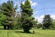 La hiedra venenosa puede ocupar un árbol muerto, como éste en el campo de golf de Virginia Tech. Desde lejos, parece un árbol de hoja perenne. De cerca, queda claro que es una pesadilla de la naturaleza.