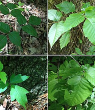 (En el sentido de las agujas del reloj, desde arriba a la izquierda), la hiedra venenosa con bordes lisos; con bordes irregulares; con hojas redondas y con hojas con muescas. Todas las imágenes fueron tomadas en un sendero en un parque estatal en la meseta Cumberland de Tennessee.