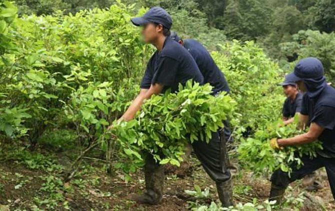 En 11% crecieron los cultivos ilícitos en Colombia, según EE.UU.