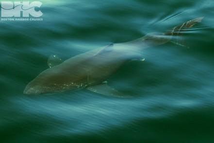 Un barco Whale Watch del Acuario se encontró con un gran tiburón blanco
