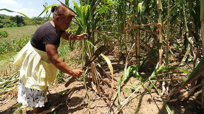 """CLIMA. Agricultores esperan que al gobierno """"se les conmueva la conciencia"""" para que otorgue más paquetes para sembrar"""