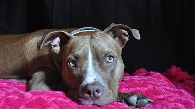 PUERTORICO. Gobernador Ricardo Rosselló firma proyecto que levanta prohibición de perros pitbull