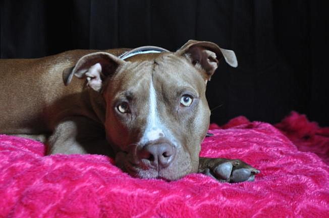 Gobernador de Puerto Rico firma proyecto que levanta prohibición de perros pitbull