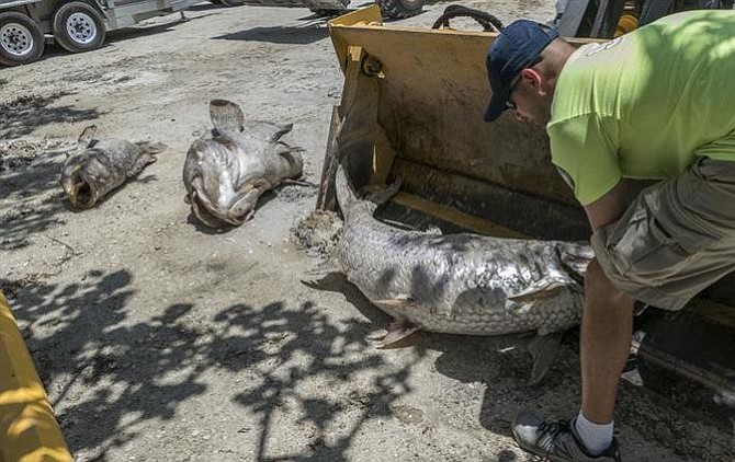 Autoridades agilizan recogida de miles de peces muertos por marea roja en Florida