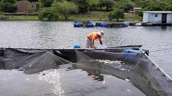 AGRICULTORES. El MARN hizo una serie de recomendaciones a los pescados y pobladores de la zona a no ingerir los peces muertos y a abstenerse de seguir cultivando alevines hasta no tener los estudios que determinen las causas de la muerte.