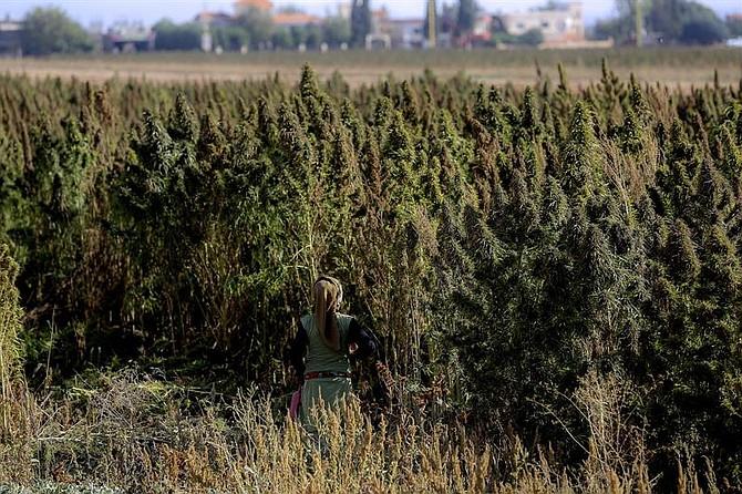 CAMPO. Foto de referencia de una plantación de cannabis