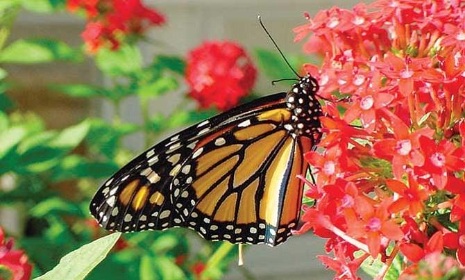 Cuidando a las monarcas