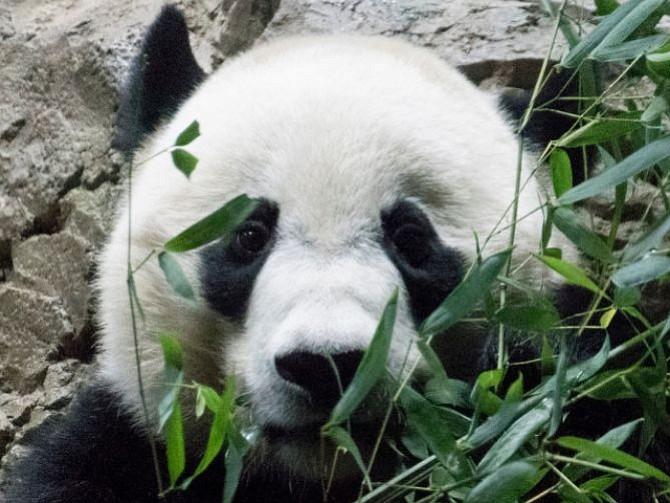 LOCALES. Bei Bei es un panda de tres años
