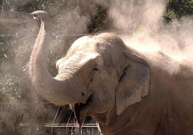¿El Salvador traerá a otro elefante para sustituir a Manyula?