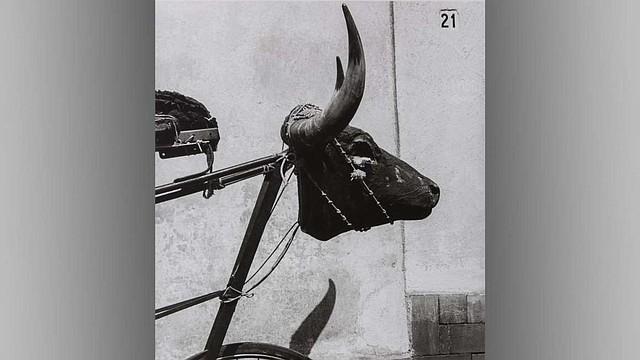Graciela Iturbide, Torito, Coyoacán, Ciudad de México (Little Bull, Coyoacán, Mexico City), 1982. Gelatin silver print. Col. Galería López Quiroga.