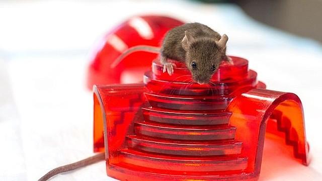 Los ratones se divierten en el laboratorio de patología y geriatría de Richard Miller en la Universidad de Michigan. Miller dirige uno de los tres laboratorios financiados por los NIH para probar sustancias antienvejecimiento en ratones.