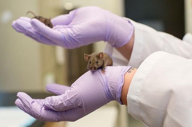 Un ratón en el labratorio de patología y geriatría de la Universidad de Michigan.