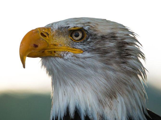 AVE. Imagen del águila calva