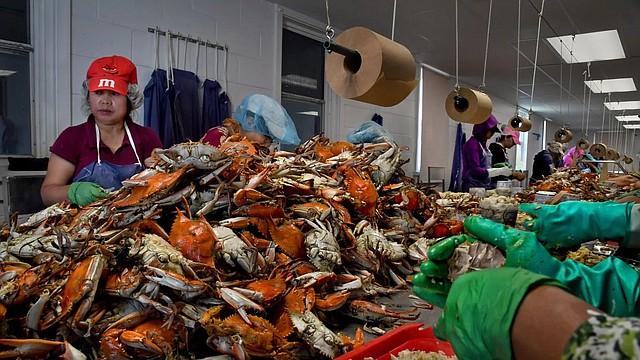 Recolectores de cangrejos en Lindy's Seafood, en Hoppers Island, en la costa este de Maryland. La localidad enfrentó una escasez de trabajadores el verano pasado debido a los límites en las visas para los trabajadores de temporada.
