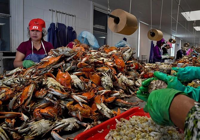 Gobernador de Maryland pide otorgar visas para recolectores de cangrejos