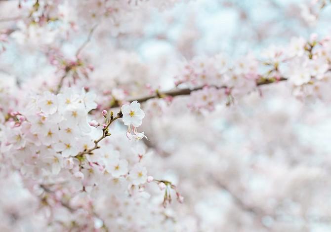 ¡A disfrutar con los cherry blossoms!