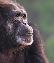 VIDA. Maggie era la última miembro del grupo de chimpancés original que se estableció en el zoológico en 1980. Llegó a Carolina del Norte de un zoológico en Virginia.