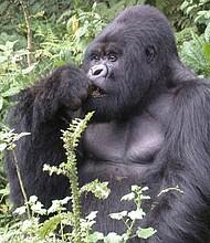 FOTO. El parque reitera que la fotografía captada responde a circunstancias excepcionales y que nunca es permitido el acercamiento a un gorila en la naturaleza.