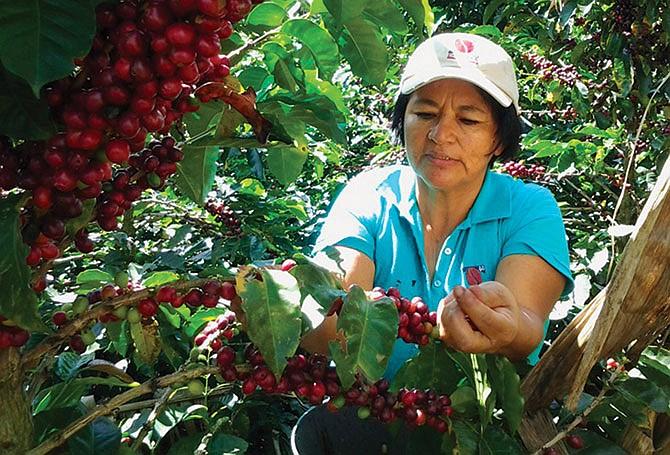La crisis del café y las caravanas