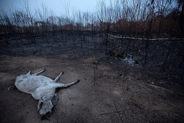 AMAZONÍA. Un animal bovino yace muerto junto a una zona consumida por las llamas, cerca de Porto Velho, Brasil. | Foto: Efe/Joédson Alves