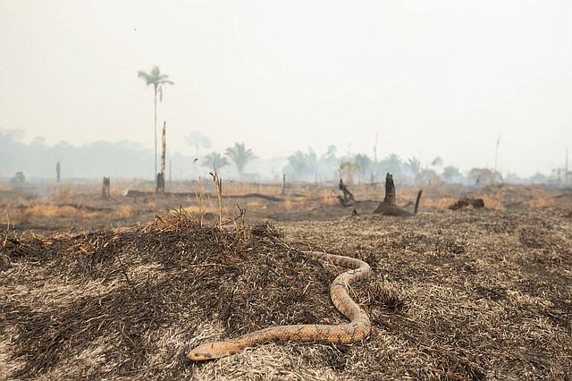 AMAZONÍA. Una serpiente huye del fuego este sábado en Porto Velho, Brasil. | Foto: Efe/Joédson Alves