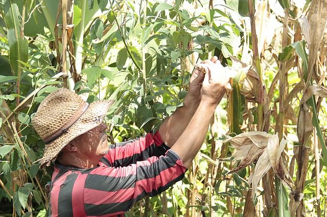 Darío revisa con cuidado su pequeña cosecha de maíz. | Foto: Semana/ Wladimir López Granados