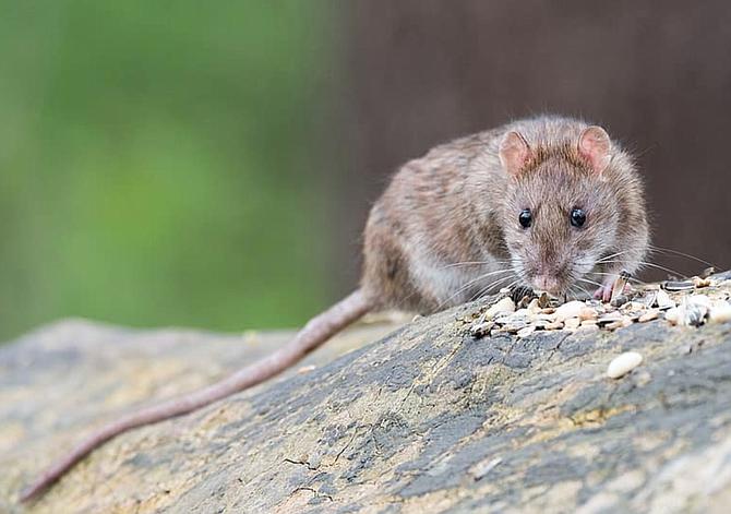 Las ratas han visto una reducción en los desechos, su principal fuente de alimento.